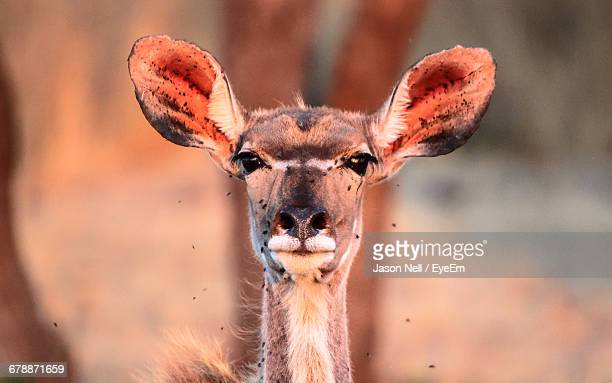 close-up of female kudu - animal ear stock photos and pictures
