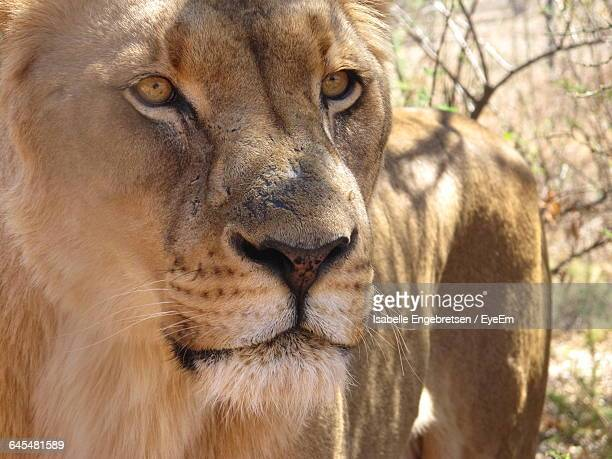 close-up of female lion standing at forest - isabelle foret photos et images de collection