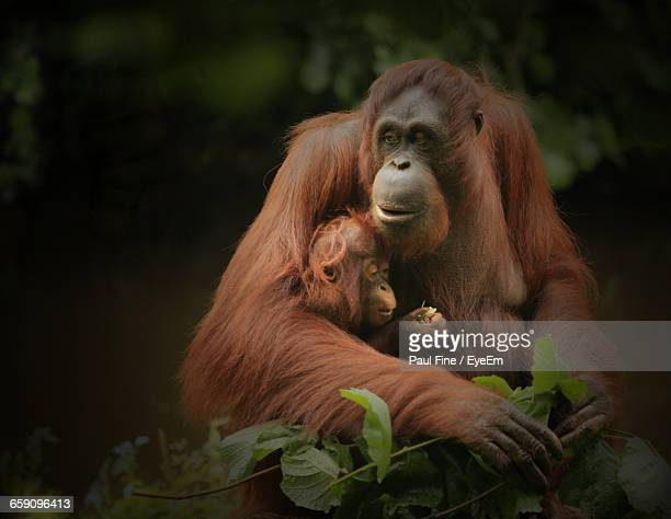 Close-Up Of Female Orangutan With Infant On Tree