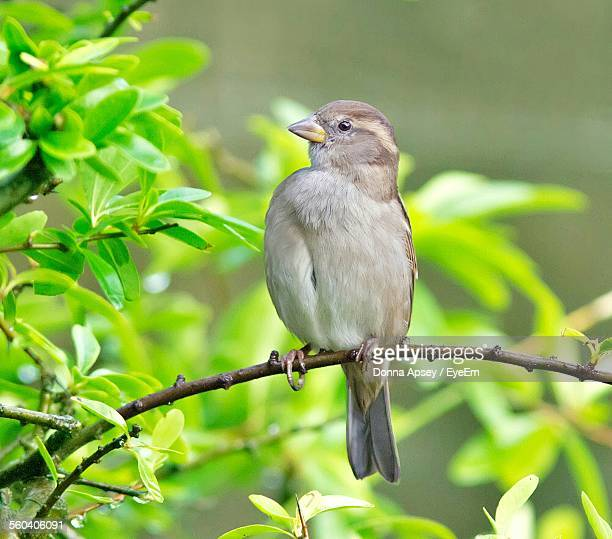 Close-Up Of Female Sparrow Perching On Branch