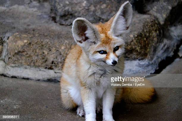 Close-Up Of Fennec Fox Against Rock At Zoo