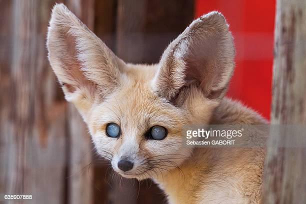 close-up of fennec fox - fennec photos et images de collection