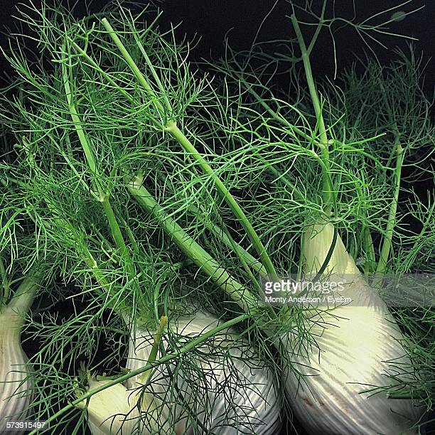 Close-Up Of Fennel Bulbs