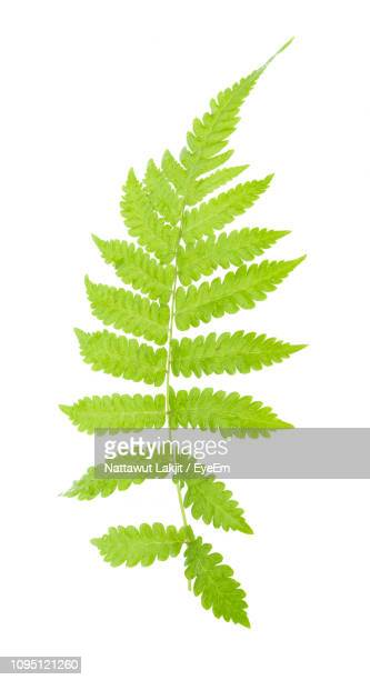 close-up of fern leaves against white background - fern stock pictures, royalty-free photos & images