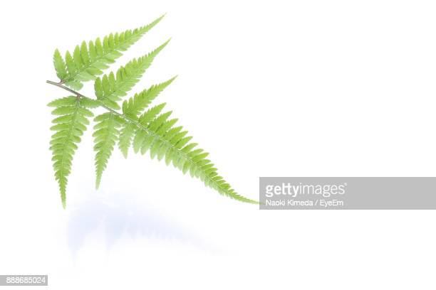 Close-Up Of Fern Leaves Against White Background
