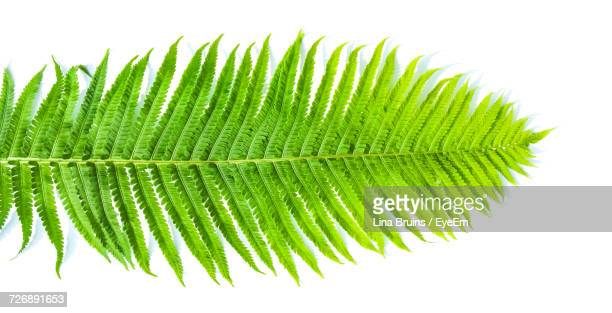 Close-Up Of Fern Leaves On White Background
