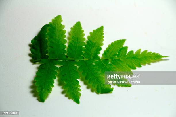Close-Up Of Fern On White Background