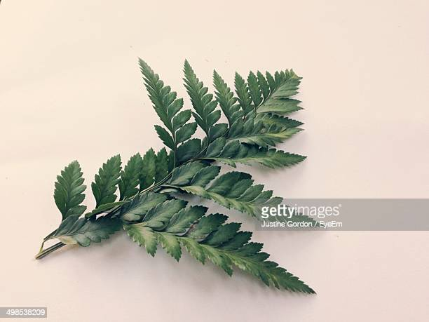 Close-up of fern over white background