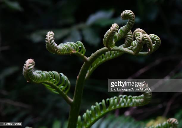 Closeup of ferns growing outdoors Yaeyama Islands Ishigakijima Japan on August 24 2018 in Ishigakijima Japan