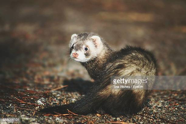 Close-Up Of Ferret On Field At Night