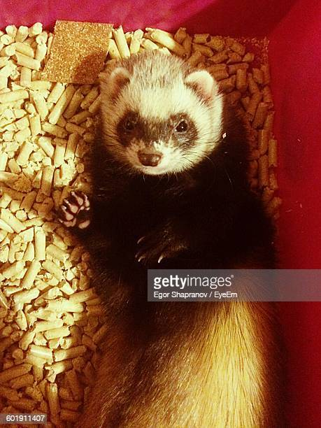 Close-up Of Ferret