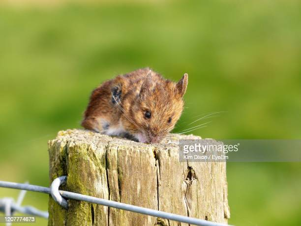 close-up of field mouse on wooden post - field mouse stock pictures, royalty-free photos & images