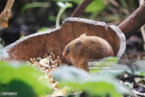 close-up of field mouse - field mouse stock pictures, royalty-free photos & images