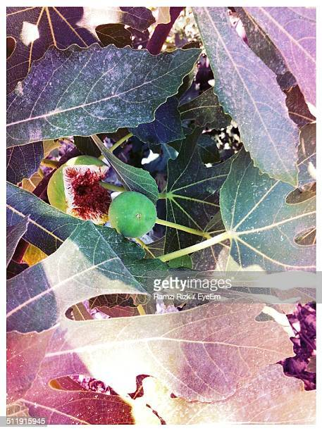 Close-up of fig tree