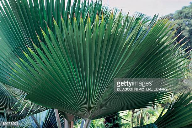 Closeup of Fiji fan palm plants