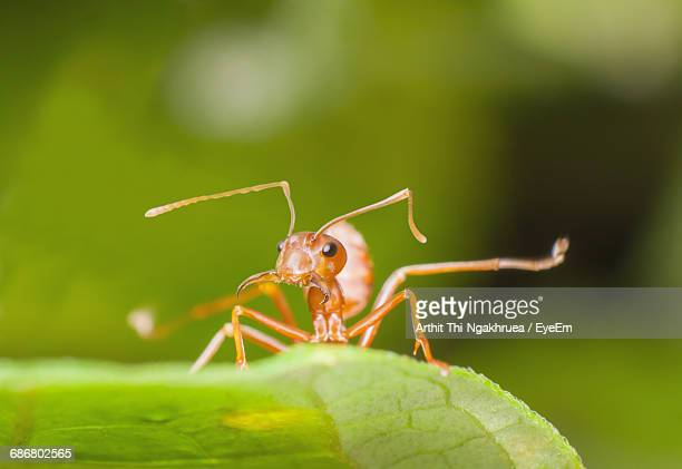 Close-Up Of Fire Ant On Leaf