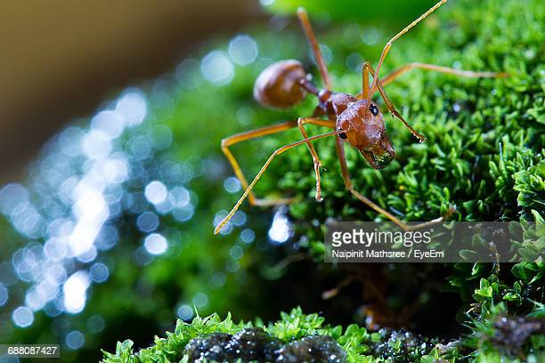 Close-Up Of Fire Ant On Plant