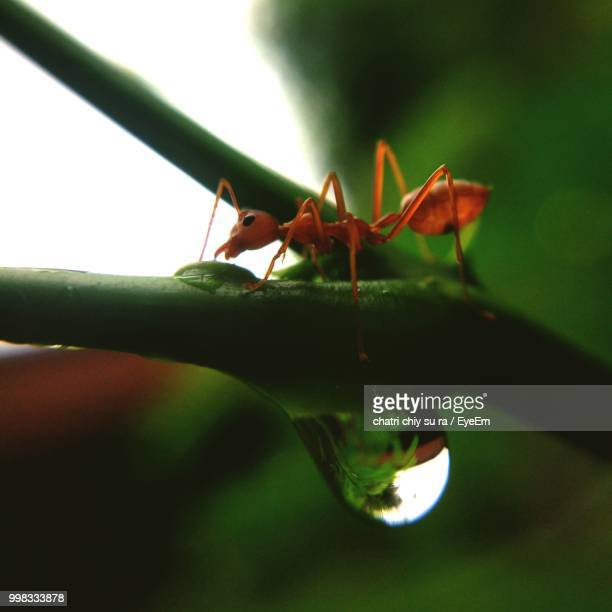 Close-Up Of Fire Ant On Plant Stem With Water Drop