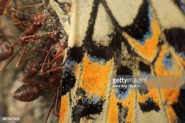Close-Up Of Fire Ants Feeding Dead Butterfly