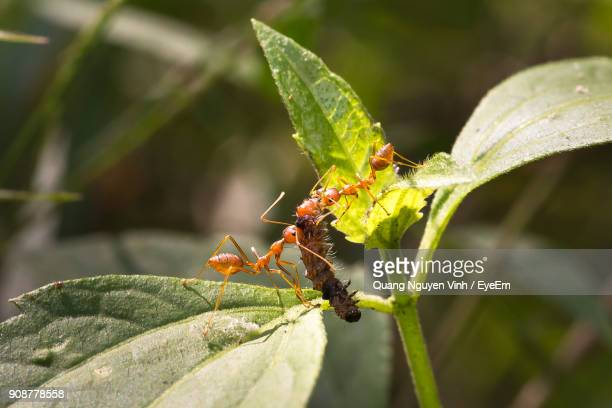 Close-Up Of Fire Ants Hunting Caterpillar On Plant