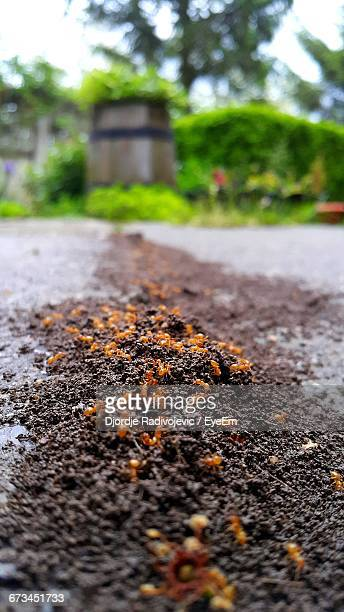 Close-Up Of Fire Ants On Dirt