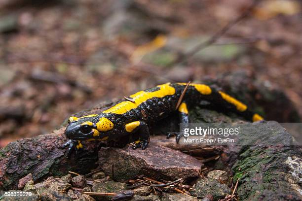 Close-Up Of Fire Salamander On Rock