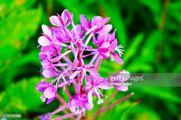close-up of fireweed flower - cantwell stock pictures, royalty-free photos & images