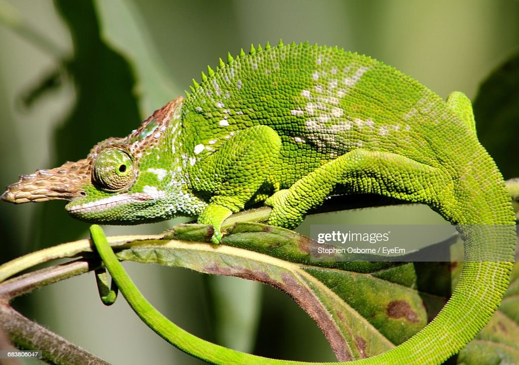 Closeup of fischer chameleon on plant stock photo getty images close up of fischer chameleon on plant stock photo thecheapjerseys Images