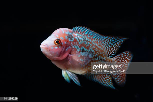 close-up of fish against black background - fish scale pattern ストックフォトと画像