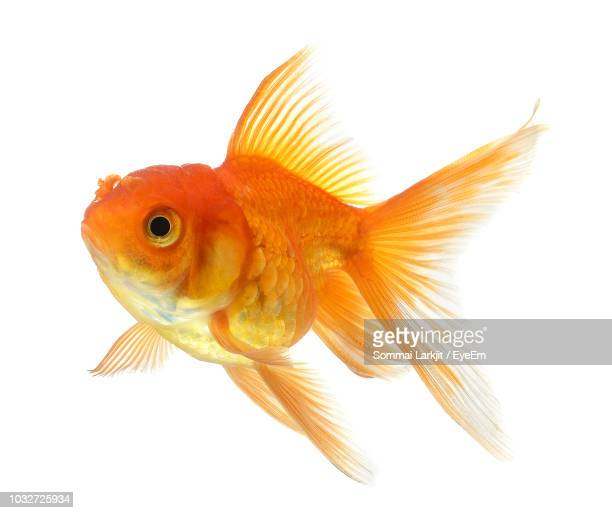 close-up of fish against white background - goldfish stock pictures, royalty-free photos & images