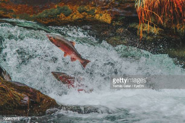 Close-Up Of Fish Jumping In Water