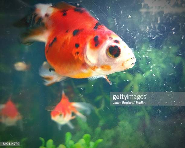 close-up of fish swimming in tank - vertebrate stockfoto's en -beelden