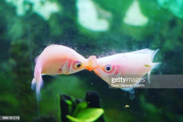 close-up of fish swimming in water - fish love stock photos and pictures