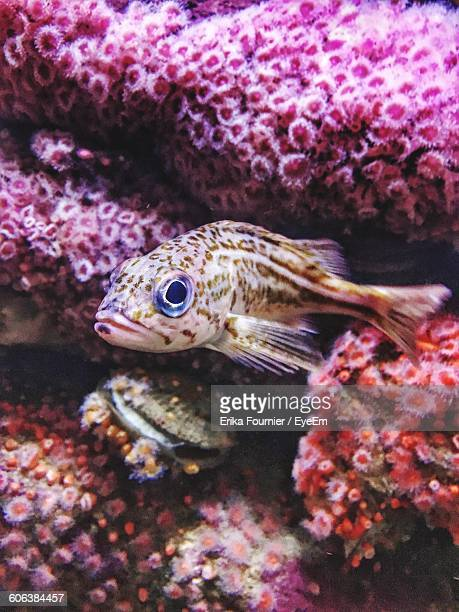 Close-Up Of Fish Swimming Near Pink Corals In Sea