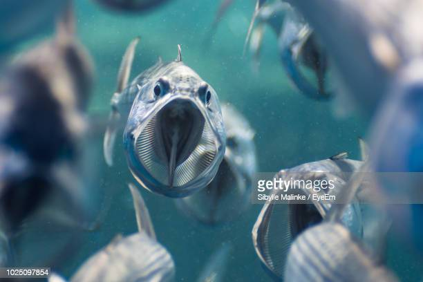 close-up of fishes swimming in sea - mouth open stock pictures, royalty-free photos & images