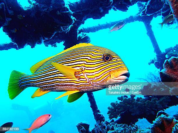 close-up of fishes swimming undersea - inoue stock photos and pictures