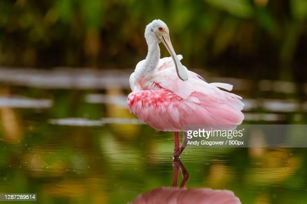 close-up of flamingo in lake,lakeland,florida,united states,usa - lakeland florida stock pictures, royalty-free photos & images