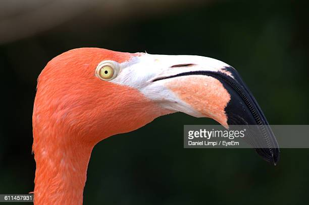 close-up of flamingo - snavel stockfoto's en -beelden