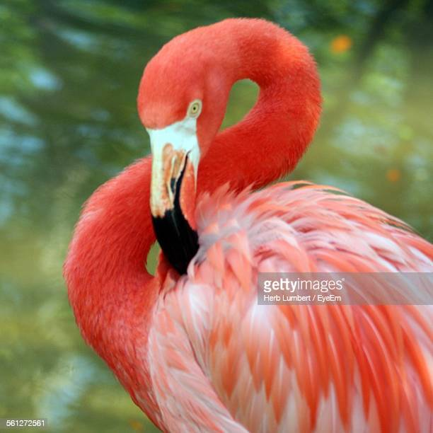 Close-Up Of Flamingo Preening