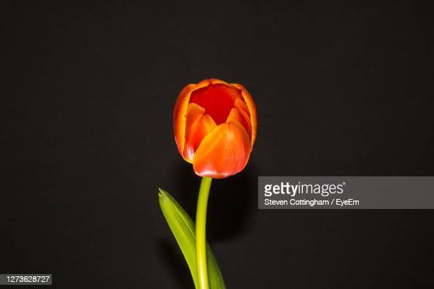 close-up of flower against black background - steven cottingham - fotografias e filmes do acervo