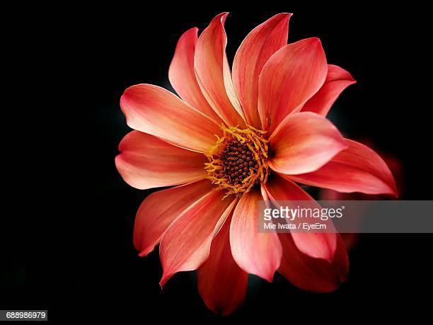 close-up of flower against black background - single flower stock pictures, royalty-free photos & images