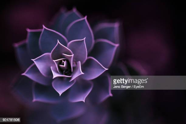 close-up of flower blooming outdoors - succulent stock photos and pictures