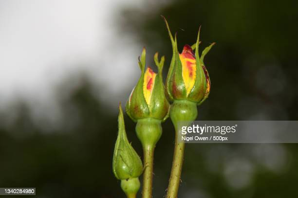 close-up of flower bud - nigel owen stock pictures, royalty-free photos & images