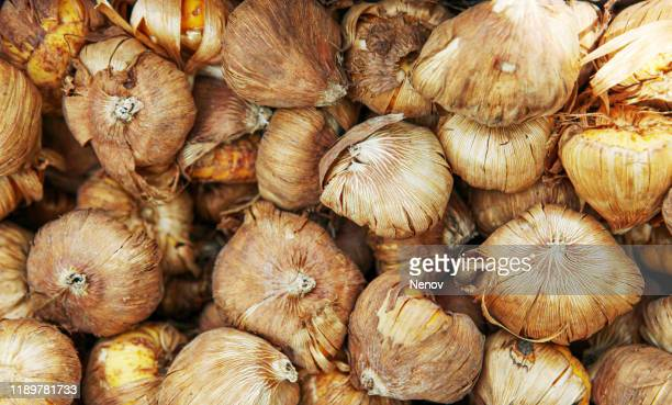 close-up of flower bulbs - tulips and daffodils stock pictures, royalty-free photos & images