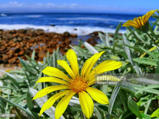 close-up of flower by mossel bay coast - mossel bay stock pictures, royalty-free photos & images