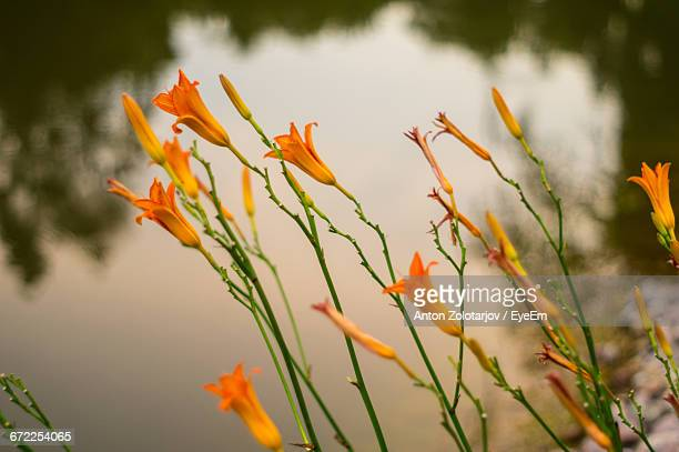 Close-Up Of Flower Growing In Lake