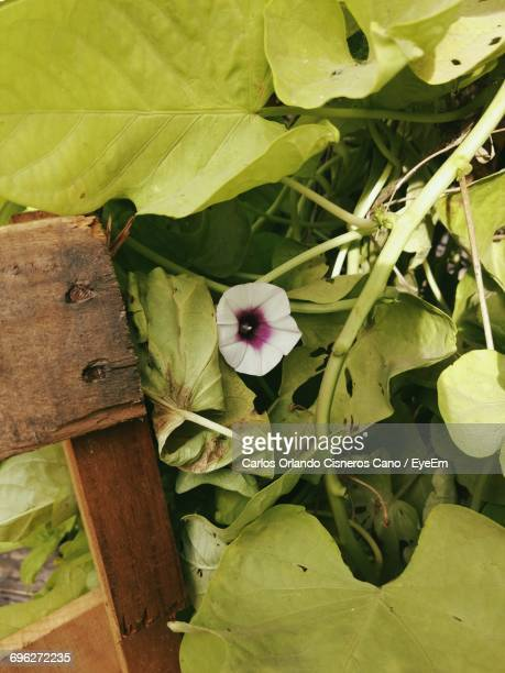 close-up of flower growing outdoors - special:whatlinkshere/file:lucerne_circle,_orlando,_fl.jpg stock pictures, royalty-free photos & images