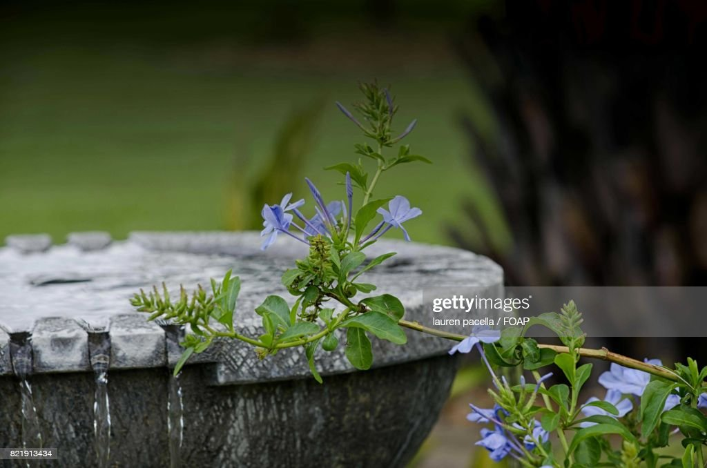 Close-up of flower near the fountain : Stock Photo