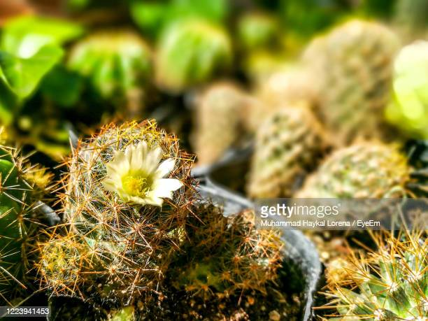 close-up of flower of a cactus. - lorena day stock pictures, royalty-free photos & images
