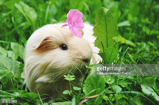 Close-Up Of Flower On Guinea Pig On Field
